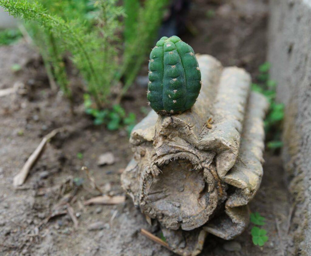 Baby San Pedro cactus